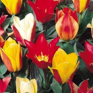 Луковицы тюльпанов Грейга