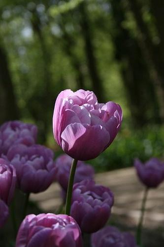 Тюльпан Блю Дайамонд