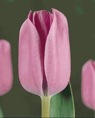 Тюльпан Блю Перл