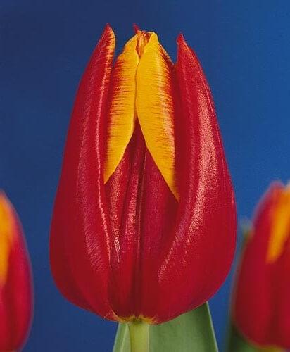 Тюльпан Боливия