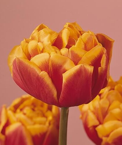 Тюльпан Бонанза