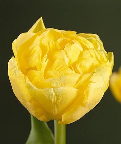 Тюльпан Буле д'Ор