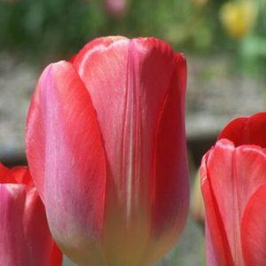 Луковица тюльпана Биг Чиф