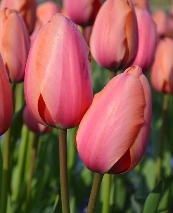 Купить луковица тюльпана Эприкот Импрешн
