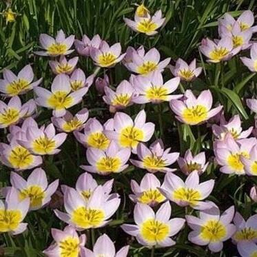 Тюльпаны ботанические