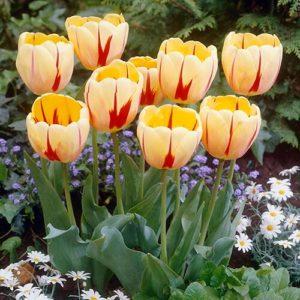 Луковица тюльпана Бернинг Харт