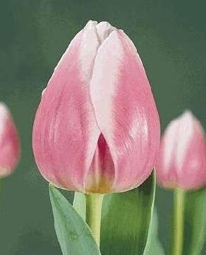 Тюльпан Валентин