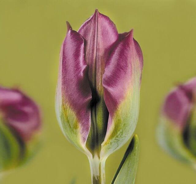 Тюльпан Виолет Берд