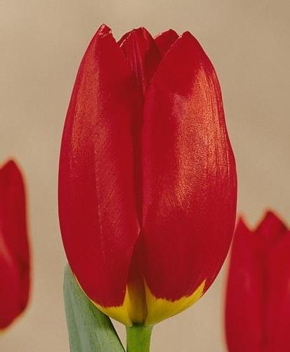 Тюльпан Висли