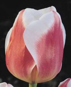Тюльпан Анна Хосе