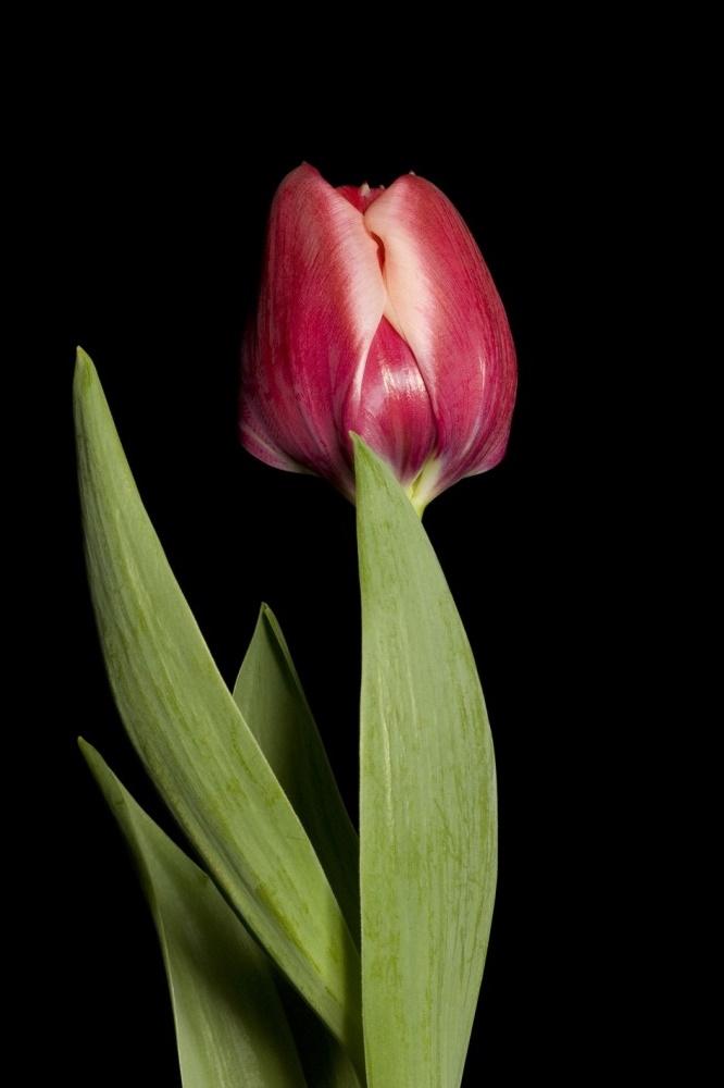Тюльпан Дабл Панки