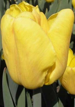 Тюльпан Дакар
