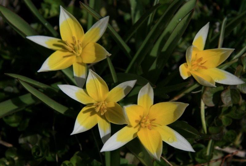 Тюльпан Дасистемон