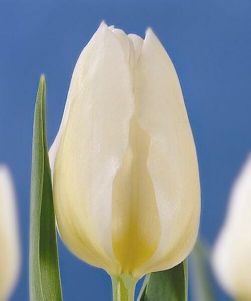 Тюльпан Диана