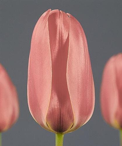 Тюльпан Дианта