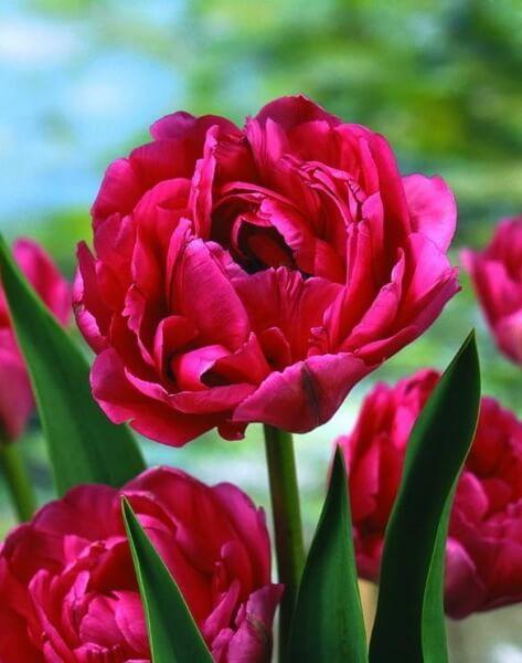 Тюльпан Дон Камилло