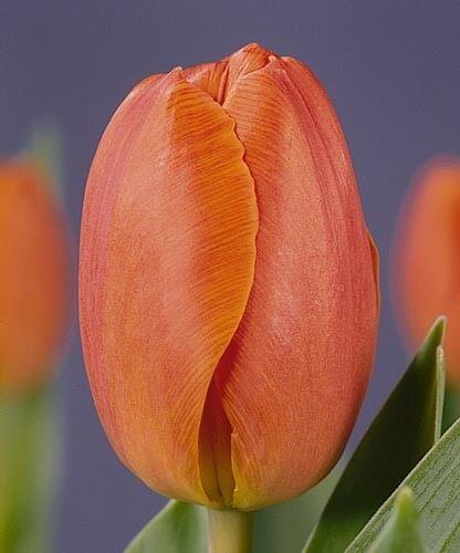 Тюльпан Генерал де Вет