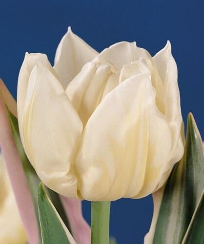 Тюльпан Гинрей