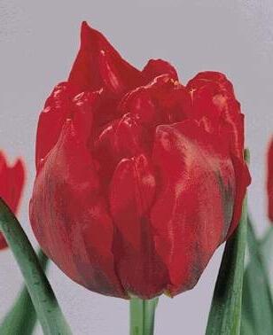 Тюльпан Гойя