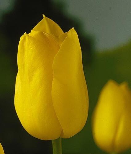 Тюльпан Голден Мелоди