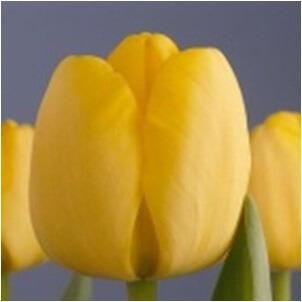 Тюльпан Голден Парад