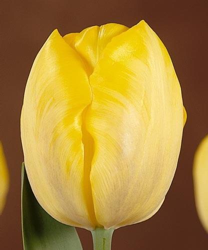 Тюльпан Голден Пис