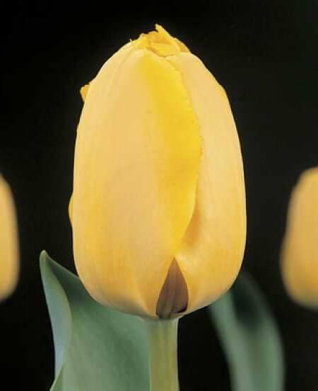 Тюльпан Голден Танго