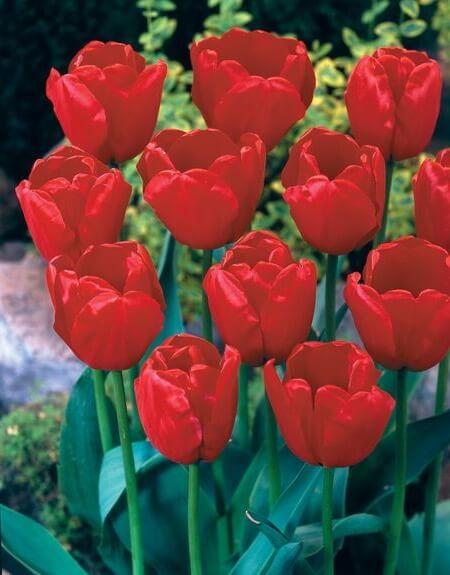 Тюльпан Голландия