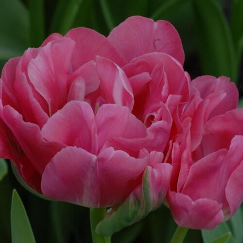 Тюльпан Гранда