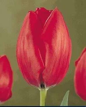 Тюльпан Гритингс