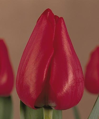 Тюльпан Ибица