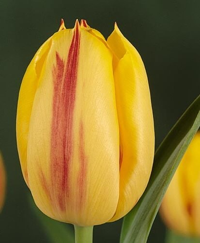 Тюльпан Ида