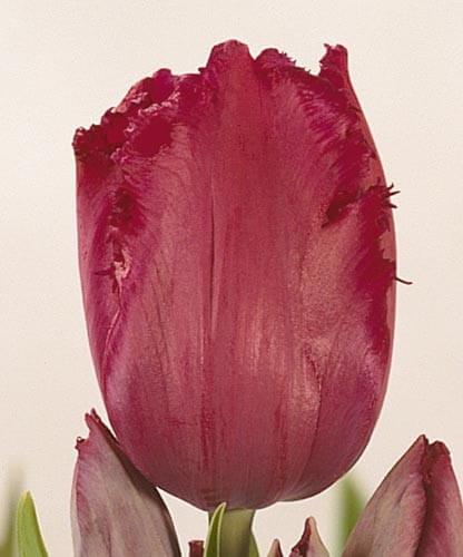 Тюльпан Исис