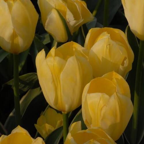 Тюльпан Истер Мун