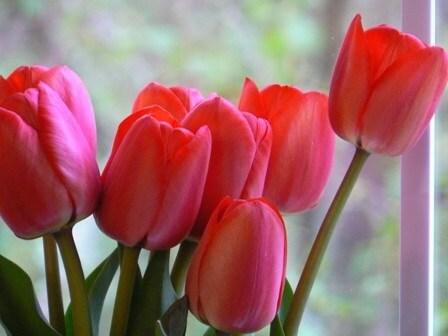 Тюльпан Ивонне