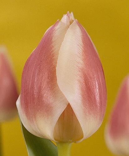 Тюльпан Изабелла