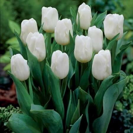 Тюльпан Калгари