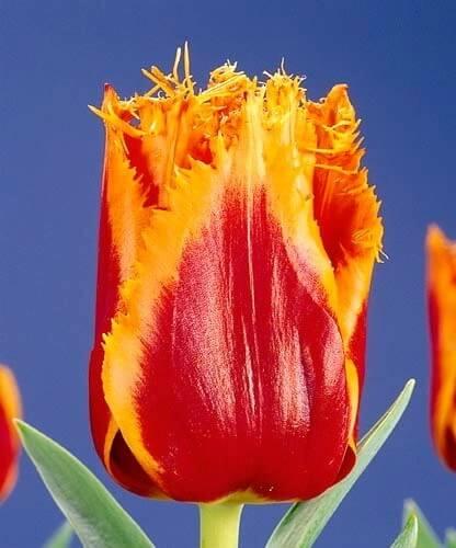 Тюльпан Канары