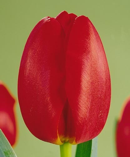 Тюльпан Карерия