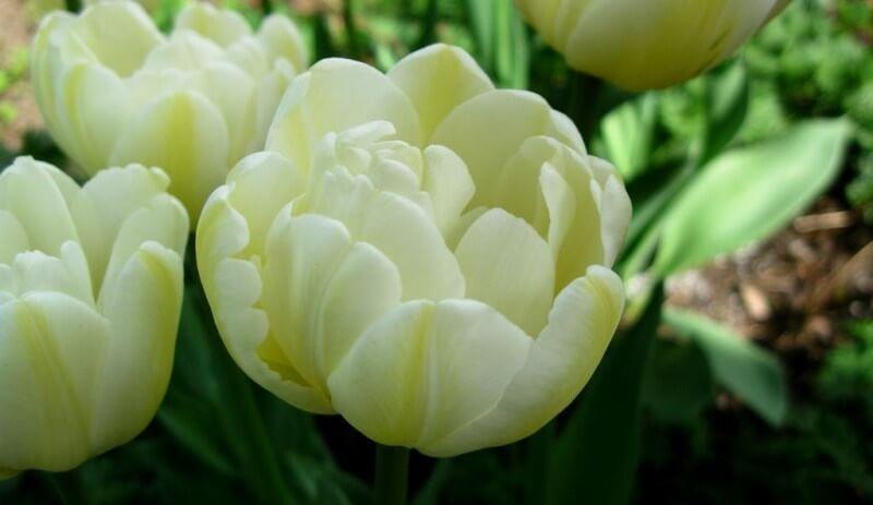 Тюльпан Касабланка
