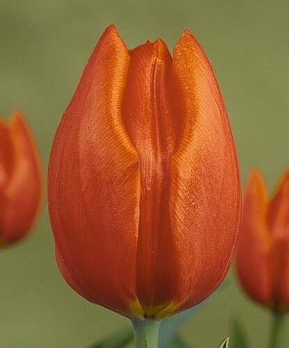 Тюльпан Кассини