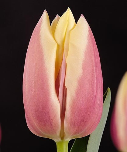 Тюльпан Каталина