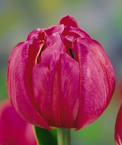 Тюльпан Клэрион