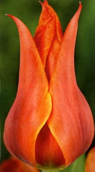 Тюльпан Кобра