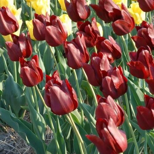 Тюльпан Кровавая Мэри