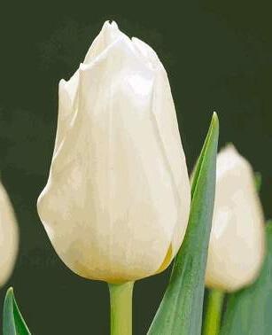 Тюльпан Лардиноис