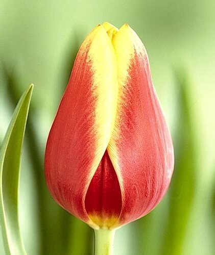 Тюльпан Леда