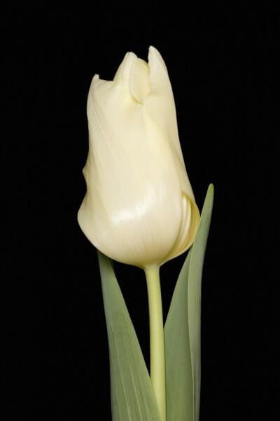 Тюльпан Лео ван Миейль