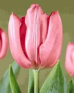 Тюльпан Лидия