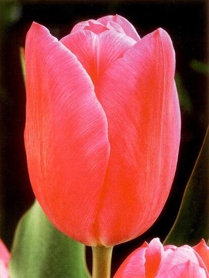 Тюльпан Лили Джамбо